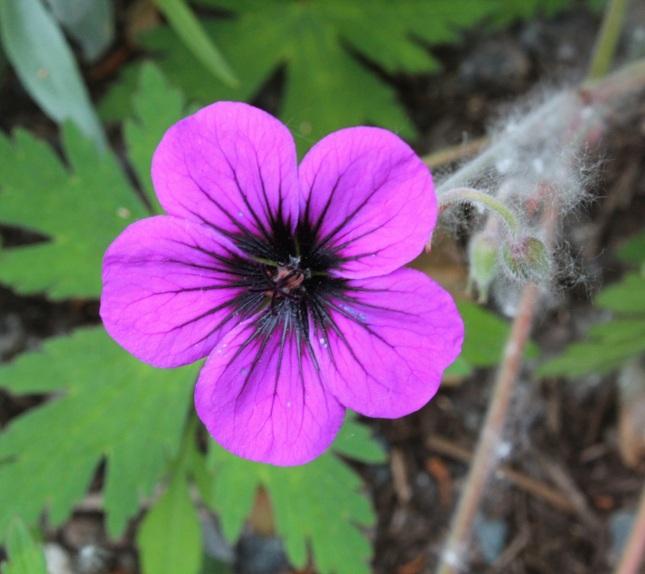 geranium 'ann folkard'