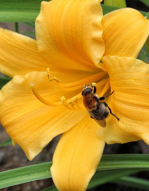 Lily 'Stella d'Oro' (hemerocallis fulva 'stella d'oro')