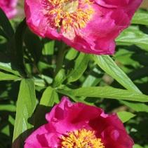 Peony (Paeonia mairei)