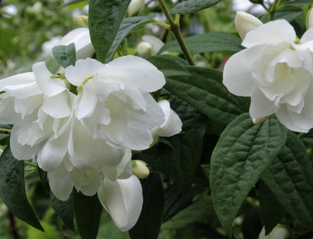 Dwarf mock orange (philadelphus 'snow dwarf')