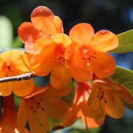 Rh. cinnabarinum ssp. cinnabarinum