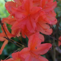 Rh. molle ssp. japonicum
