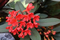 Rh. polyanthemum