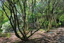 Trunks of Rhododendron fortunei
