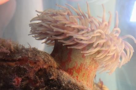 Christmas anemone