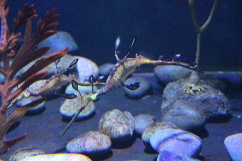 Weedy seadragons