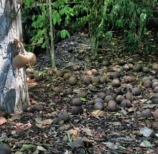 Fallen cannonball tree fruit