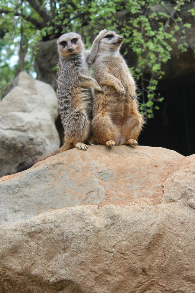 meerkats-lazoo