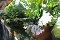 Kale and beet (beetroot) greens