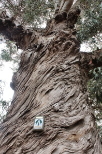 Mature Tasmanian blue gum (planted in 1857)