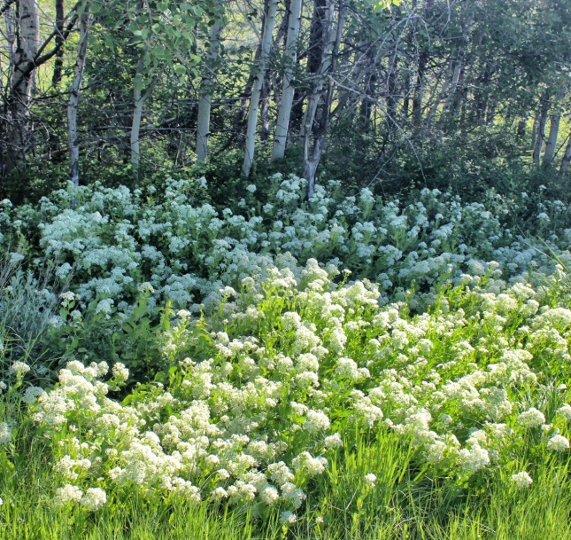 Meadow death camas