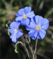 Western blue flax