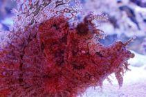 Weedy scorpionfish