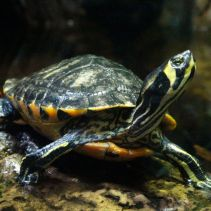 Yellowbelly slider