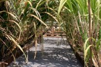 Sugar cane garden (36 species)