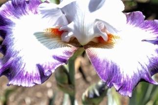 iris - 2