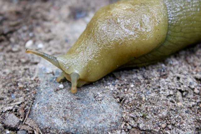 bananaslug