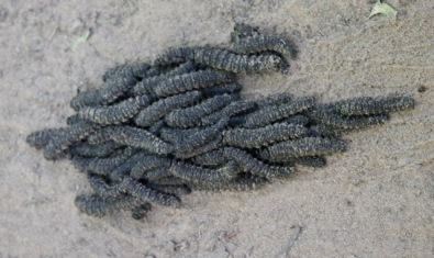 Rolling swarm of caterpillars