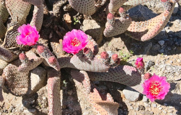 Beavertail pricklypear (Opuntia basilaris)