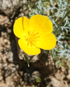 Parish's gold poppy (Eschscholzia parishii)