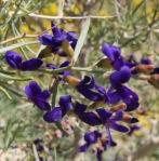 Indigo bush (Psorothamnus schottii)