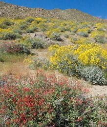 Hummingbird bush and brittlebush