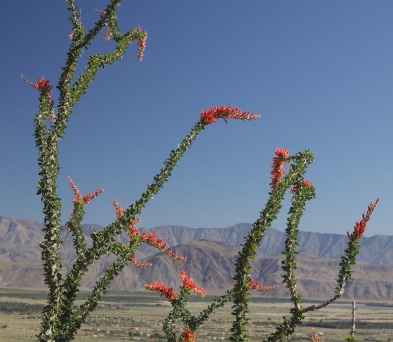 Ocotillo (Fouquieria splendens)