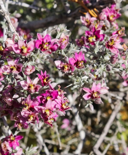 Pima rhatany (Krameria erecta)
