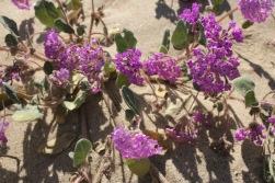 Desert sand verbena (Abronia villosa)