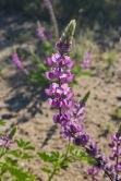 Arizona lupine (Lupinus arizonicus)