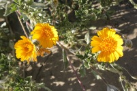 Desert sunflower (Geraea canescens)