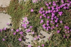 Flowers, below fort walls, Essaouira